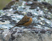 Rock Bunting Emberiza cia, by Ueli Rehsteiner