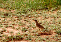 Dupont's Lark Chersophilus duponti, by Ueli Rehsteiner