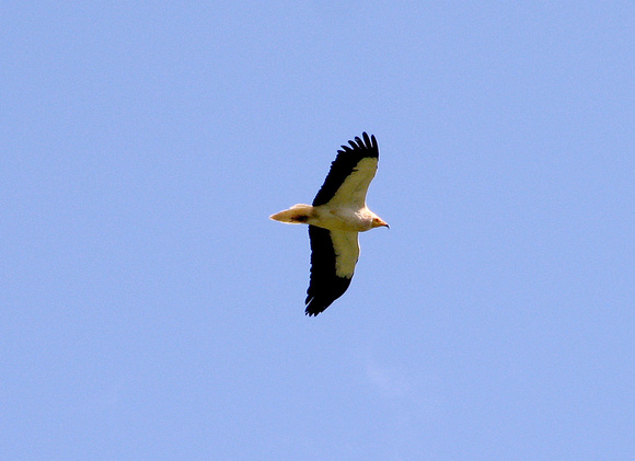 Egyptian Vulture Neophron percnopterus, by Ueli Rehsteiner