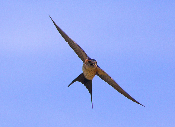 Red-rumped Swallow Hirundo daurica, by Ueli Rehsteiner