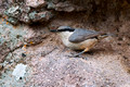 Rock-Nuthatch (Sitta neumayer)