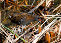 Water Rail Rallus aquaticus, by Ueli Rehsteiner